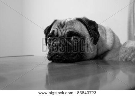 Sad Pug Face