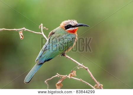 Blue Fronted Bee Eater