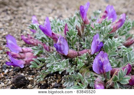 Pursh's Locoweed - Astragalus purshii