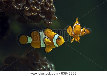 Clown anemonefish,  Orange clownfish - Amphiprion percula