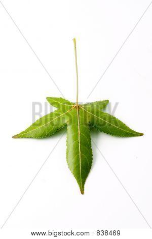 Isolated back leaf