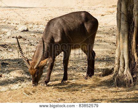 Beautiful Gazelle