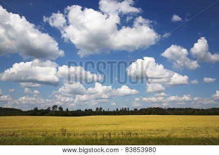 Beautiful yellow rape field