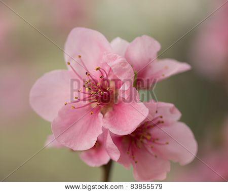 Closeup Of Flower Nectarines