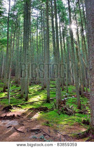 Sun Shining Through The Conifer Forest On The Avalanche Lake Trail In Glacier National Park