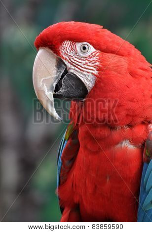 Scarlet macaw in forest
