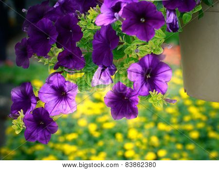 Close Up Purple Flower In Hanging Plantation Decorated In Garden With Blur Yellow And Green Backgrou
