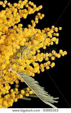 Yellow Mimosa  On Black Background
