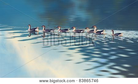 Swan goose, Anser cygnoides on a lake