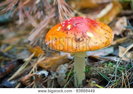 Mushroom Mushroom In A Forest Glade.