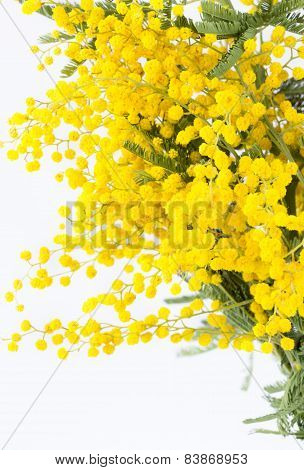 Branch Of The Blossoming Mimosa On A White Background