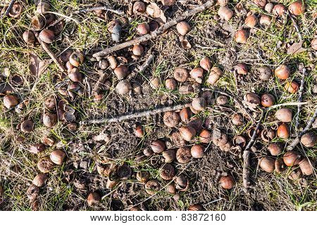 Fallen Acorns And Twigs On The Forest Bottom