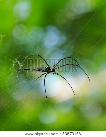 Nephila clavata spider on his web, Penang National Park, Malaysia