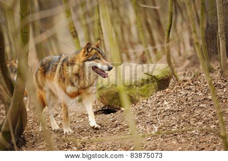 Wolf In The Forrest