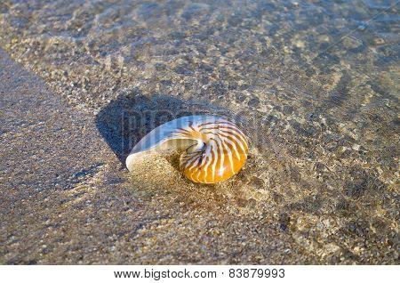 Large Seashell