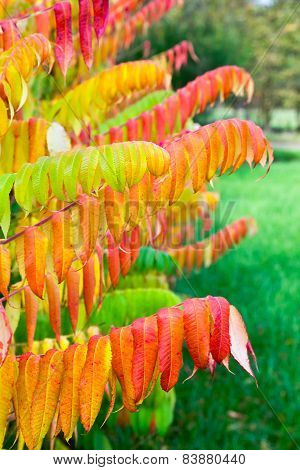 Leaves of velvet tree in fall colors