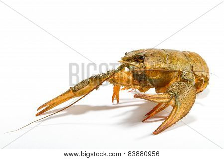 Crayfish Isolated On White