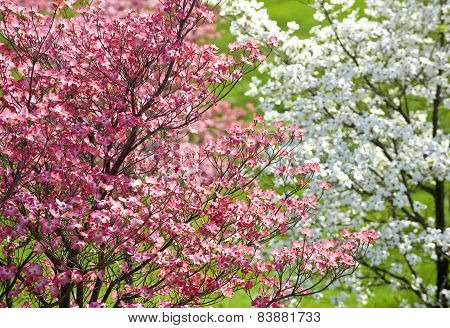 Dogwood Pink And White Trees In Springtime