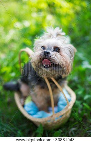 Yorkshire Terrier Sitting In Basket