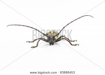 Long Antennae Beetle