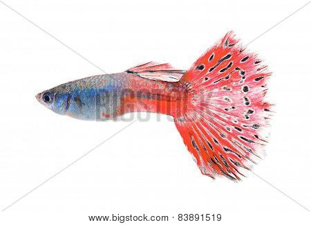 guppy fish isolate on white background, animal
