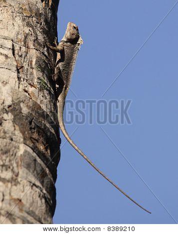 Asian Garden Lizard