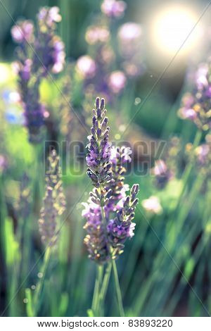 Lavender Flowers In The Summer