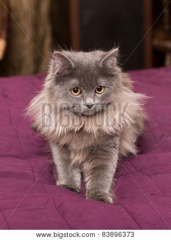 Little Persian Kitten On The Bed