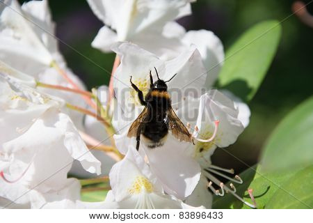 Bee in flower