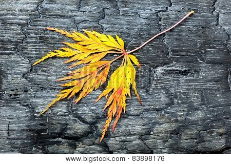 Burnt black wood with yellow autumn leaf