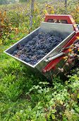 pic of moscato  - pickup  bunches of grapes black wine green leaf barbera oltrepo - JPG