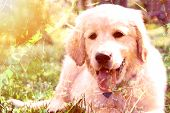 foto of golden retriever puppy  - Double exposure picture of cute golden retriever puppy lying on grass - JPG