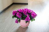 image of azalea  - A Pink azalea and rose stand on the floor in room - JPG