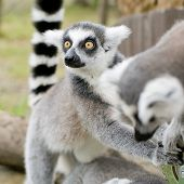 image of rainforest animal  - ring-tailed lemur (lemur catta) animal wildlife on nature background