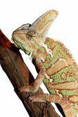 stock photo of chameleon  - veiled chameleon  - JPG