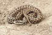 stock photo of species  - meadow adder on ground  - JPG