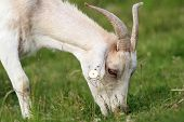 pic of baby goat  - white goat grazing fresh grass on meadow near the farm - JPG