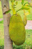picture of jacking  - jackfruit  - JPG