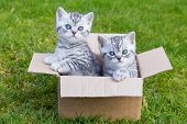 stock photo of tabby-cat  - Young silver tabby cats sitting in cardboard box on grass - JPG