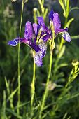 picture of purple iris  - Two field Purple Iris in the grass