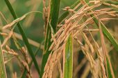 image of rice  - Close up Rice Farm - JPG