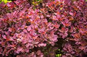 picture of barberry  - Pink - JPG