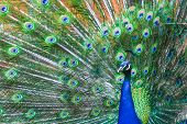 pic of indian peafowl  - A front view of an indian blue peacock spreading his wings.