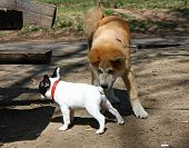 stock photo of french bulldog puppy  - Puppies of Akita Inu and French bulldog in public park - JPG
