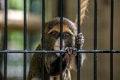 picture of caged  - A cute monkey looks quite sad in his cage - JPG