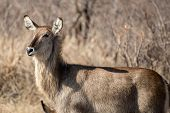 image of  bucks  - A female water buck looking off into the distance - JPG