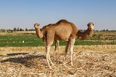 picture of camel  - Two camels looking at the camera with green field in the background