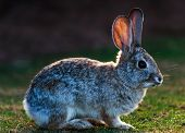stock photo of rabbi  - a jack rabbit relaxing in grden beauiful rabbi - JPG