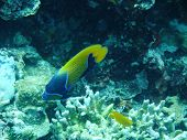 stock photo of angelfish  - Angelfish and coral  underwater off Manado in Indonesia