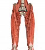 image of upper thigh  - Upper Legs Muscles Anatomy Illustration - JPG